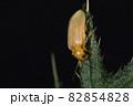生き物 昆虫 エノキハムシ、八ミリほど。肌色系で細かい毛が密生。前翅は微妙に半透明かな? 82854828