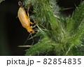 生き物 昆虫 エノキハムシ、名前通りエノキにつく。初夏、時に大発生するそうです 82854835