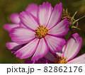 秋桜の花のクローズアップ 82862176