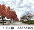 アメリカフウ(紅葉葉楓)のプロムナード (岡崎中央総合公園/愛知県岡崎市) 82872309