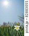 快晴の下、ラッパ水仙咲く春風景-2 82883055