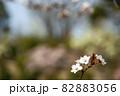 スモモの花の春風景 82883056