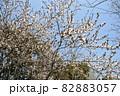 ベニバスモモ満開の春風景 82883057
