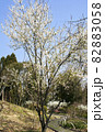 スモモ、満開の春風景 82883058