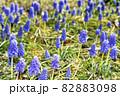 春の花、ムスカリの風景 82883098