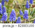 春の花、ムスカリの風景-2 82883100