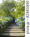 明月院 山門まで続くあじさいの花 82883890