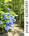 明月院 あじさいの花と竹林 82883895
