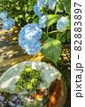 明月院 あじさいの花 82883897