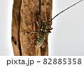 キホシカミキリムシ 82885358