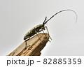 キホシカミキリムシ 82885359