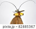飛び立つキホシカミキリムシ 82885367