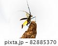 飛び立つキホシカミキリムシ 82885370