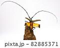飛び立つキホシカミキリムシ 82885371