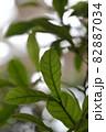 ミラクルフルーツの葉の葉脈 82887034
