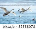 白鳥の着水「どいてどいて!危ないよ~~」 82888078