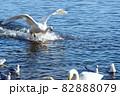 そそっかし白鳥の着水「おっとっと 行き過ぎ行き過ぎ!」 82888079