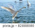 白鳥の豪快な着水「よっこらせっと!!」 82888080