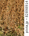 秋の北海道江差町で収穫間近の大豆畑の風景を撮影 82898914