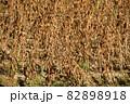 秋の北海道江差町で収穫間近の大豆畑の風景を撮影 82898918