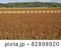 秋の北海道江差町で収穫間近の大豆畑の風景を撮影 82898920