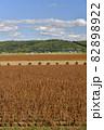 秋の北海道江差町で収穫間近の大豆畑の風景を撮影 82898922