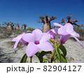 【マダガスカル】太っちょバオバブの森の側に生えた紫色の花(アンダバドアカ) 82904127