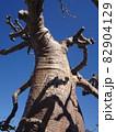 【マダガスカル】ユニークな形をした太っちょバオバブの木(アンダバドアカ) 82904129