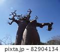 【マダガスカル】ユニークな形をした太っちょバオバブの木(アンダバドアカ) 82904134