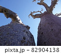 【マダガスカル】下から見上げた、アンダバドアカの太っちょバオバブの木 82904138