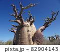 【マダガスカル】アンダバドアカの太っちょバオバブの木と青空 82904143
