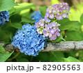 紫陽花 (本光寺/愛知県額田郡幸田町) 82905563