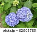 紫陽花 (愛知県岡崎市) 82905785