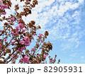 関山/八重桜・青空・うろこ雲 (南公園/愛知県岡崎市) 82905931