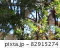 銀葉アカシア プルプレアの葉 82915274