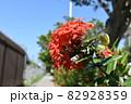 タイトル サンタンカ/サンダンカ(okinawa) 82928359