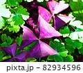 カラーリーフのオキザリスとオダマキのグリーンの葉 82934596