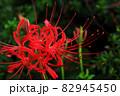 赤い花びらの彼岸花 82945450