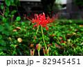道の花畑に咲く彼岸花 82945451