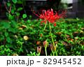 道の花畑に咲く彼岸花 82945452