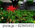道の花畑に咲く彼岸花 82945453