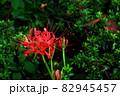 道の花畑に咲く彼岸花 82945457