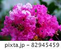 縮れているピンク色の花 82945459