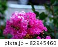 縮れているピンク色の花 82945460