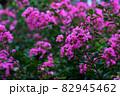 縮れているピンク色の花 82945462