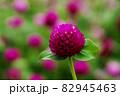 満開に咲く赤い花 82945463