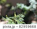 銀葉アカシア プルプレアの若葉 82959668