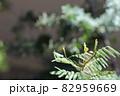 銀葉アカシア プルプレアの葉芽 82959669