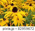 夏のひまわり畑 82959672