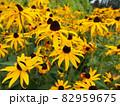夏のひまわり畑 82959675